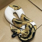 Indiana woman found dead with 8-foot python around her neck